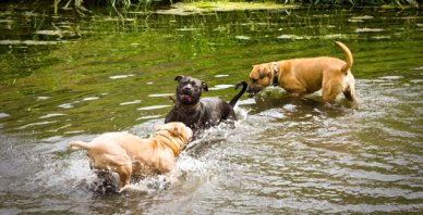 dogs in the pond